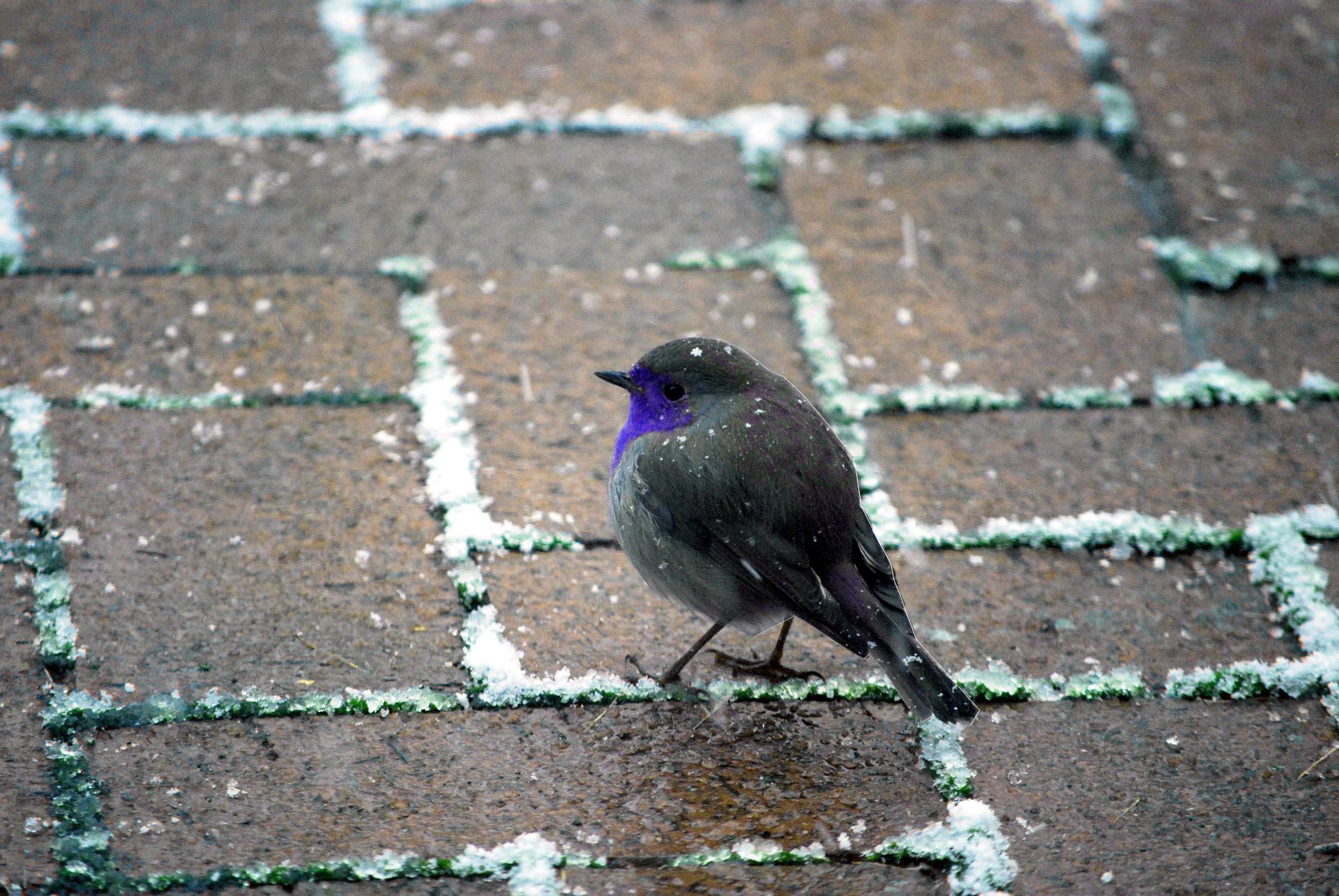 Ein blauer Vogel im Winter