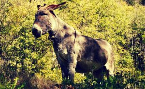 Ein alter Esel