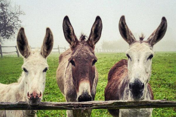 Drei Esel